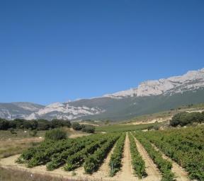 Viñedo Las fuentes ala falda de la sierra de cantabria (La Rioja)